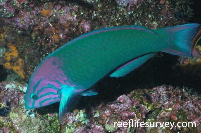Thalassoma grammaticum: Galapagos Islands, Ecuador,  Photo: Graham Edgar