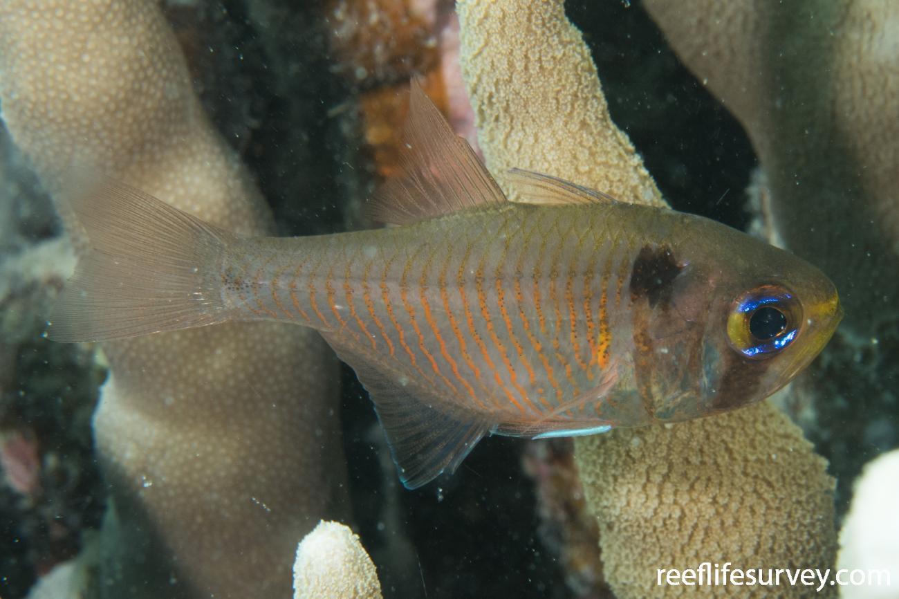 Taeniamia biguttata, QLD, Australia,  Photo: Rick Stuart-Smith