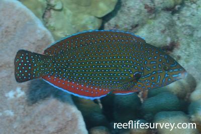 Anampses caeruleopunctatus: Female, French Polynesia,  Photo: Graham Edgar