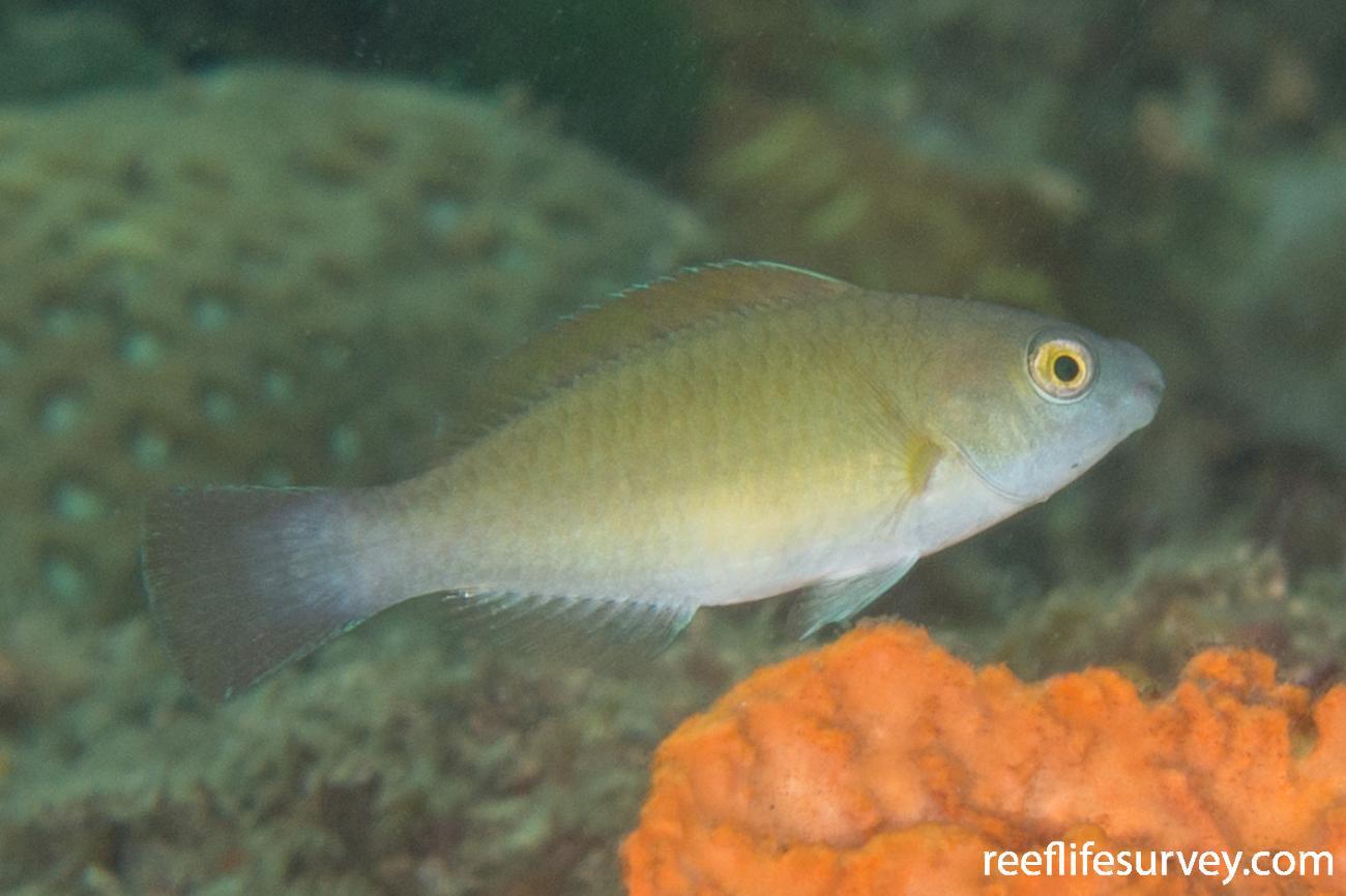 Scarus flavipectoralis, Raja Ampat, Indonesia,  Photo: Rick Stuart-Smith