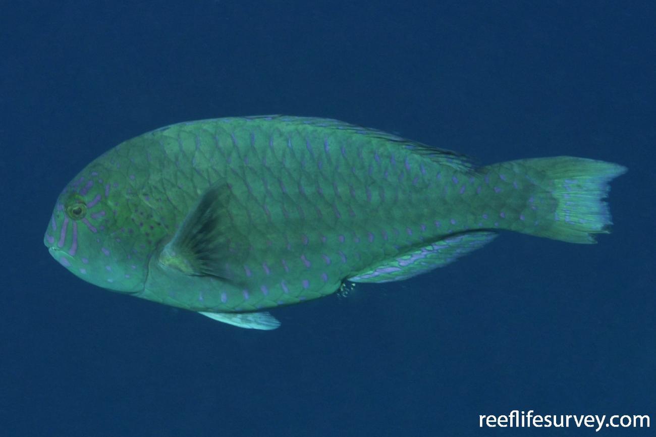Calotomus carolinus, Maldives,  Photo: Rick Stuart-Smith