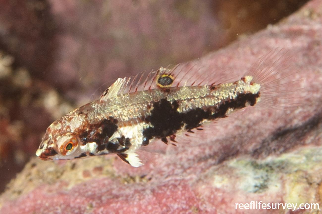 Halichoeres nebulosus, Juvenile, NSW, Australia,  Photo: Ian Shaw