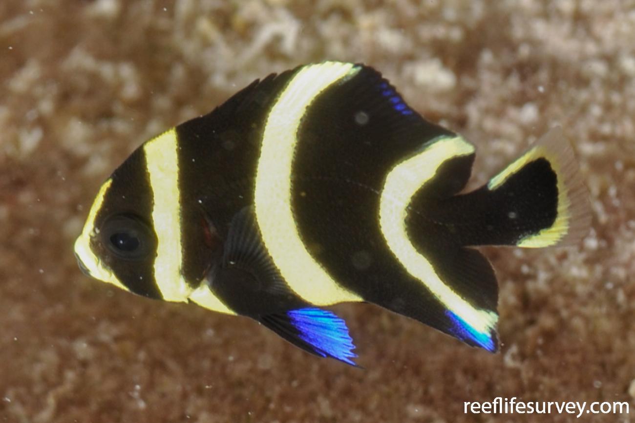 Pomacanthus paru, Juvenile, Bonaire,  Photo: Rick Stuart-Smith