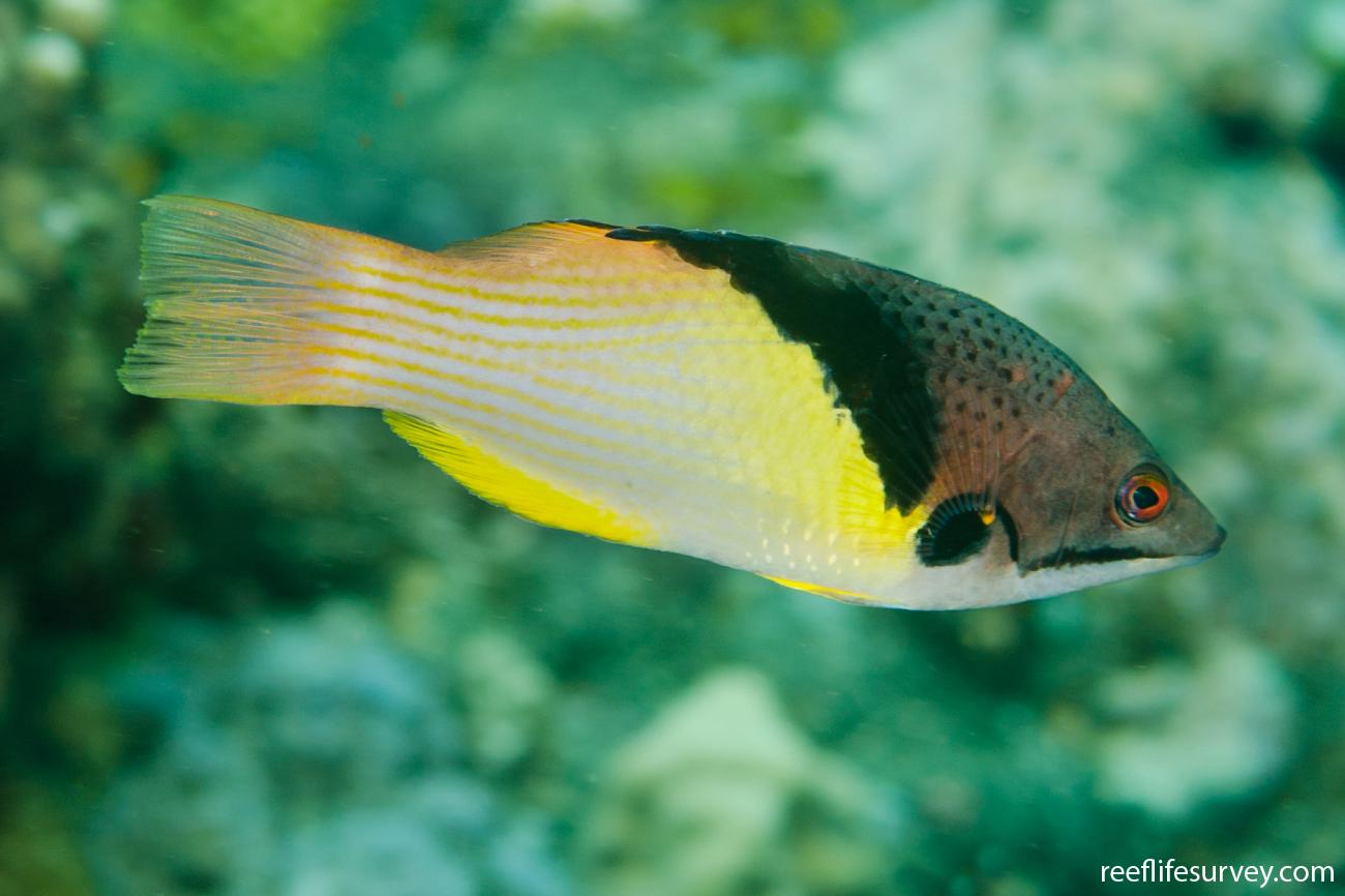 Bodianus mesothorax, Adult, Bali, Indonesia,  Photo: Ian Shaw