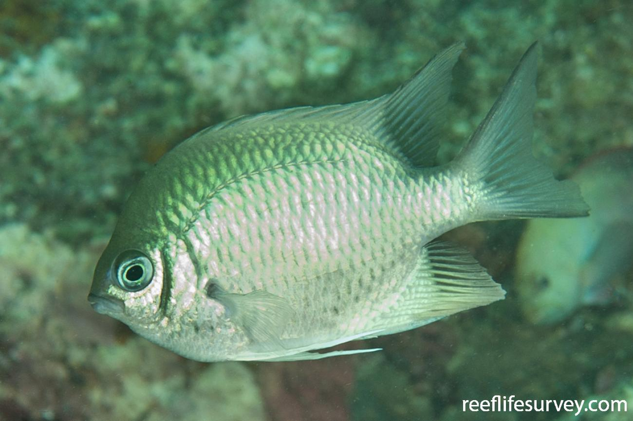 Amblyglyphidodon indicus, Adult, Aceh, Indonesia,  Photo: Ian Shaw