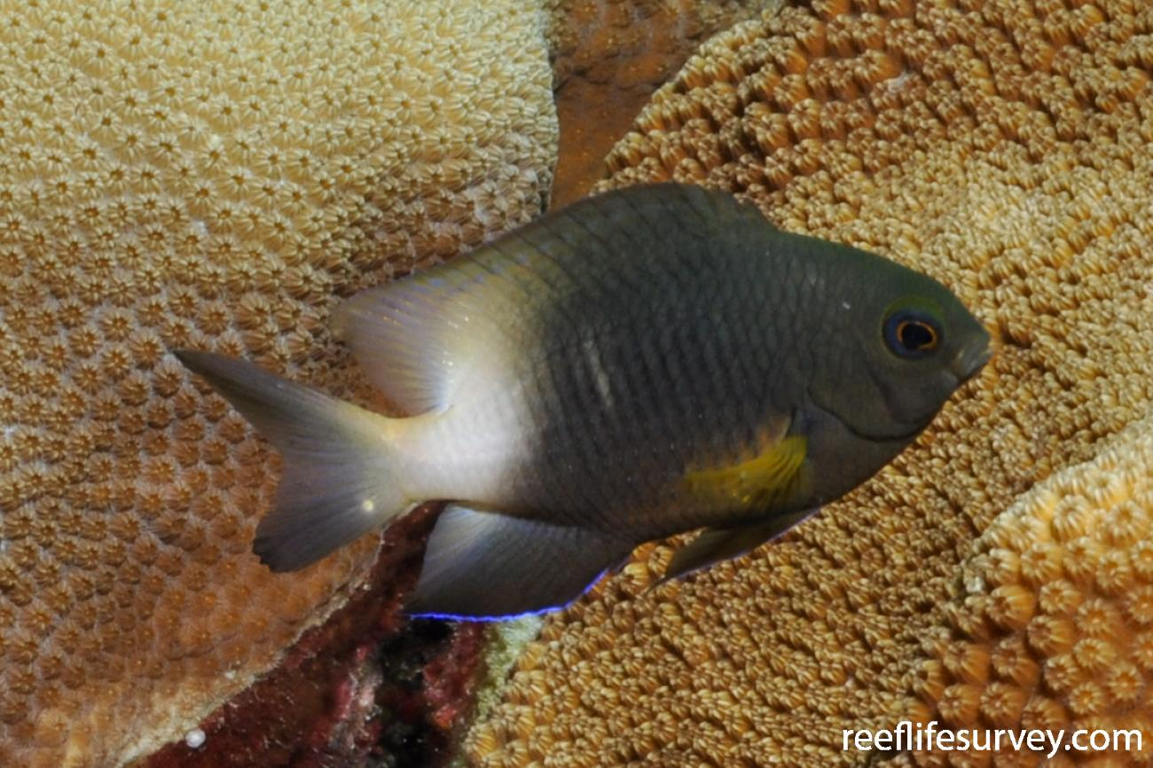 Stegastes partitus, Bonaire,  Photo: Rick Stuart-Smith