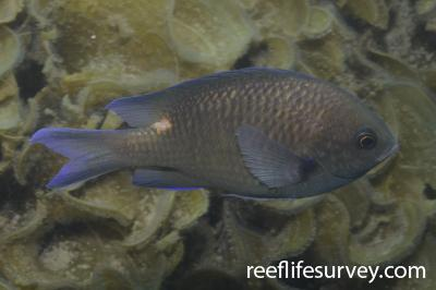 Chromis notata: Japan,  Photo: Graham Edgar