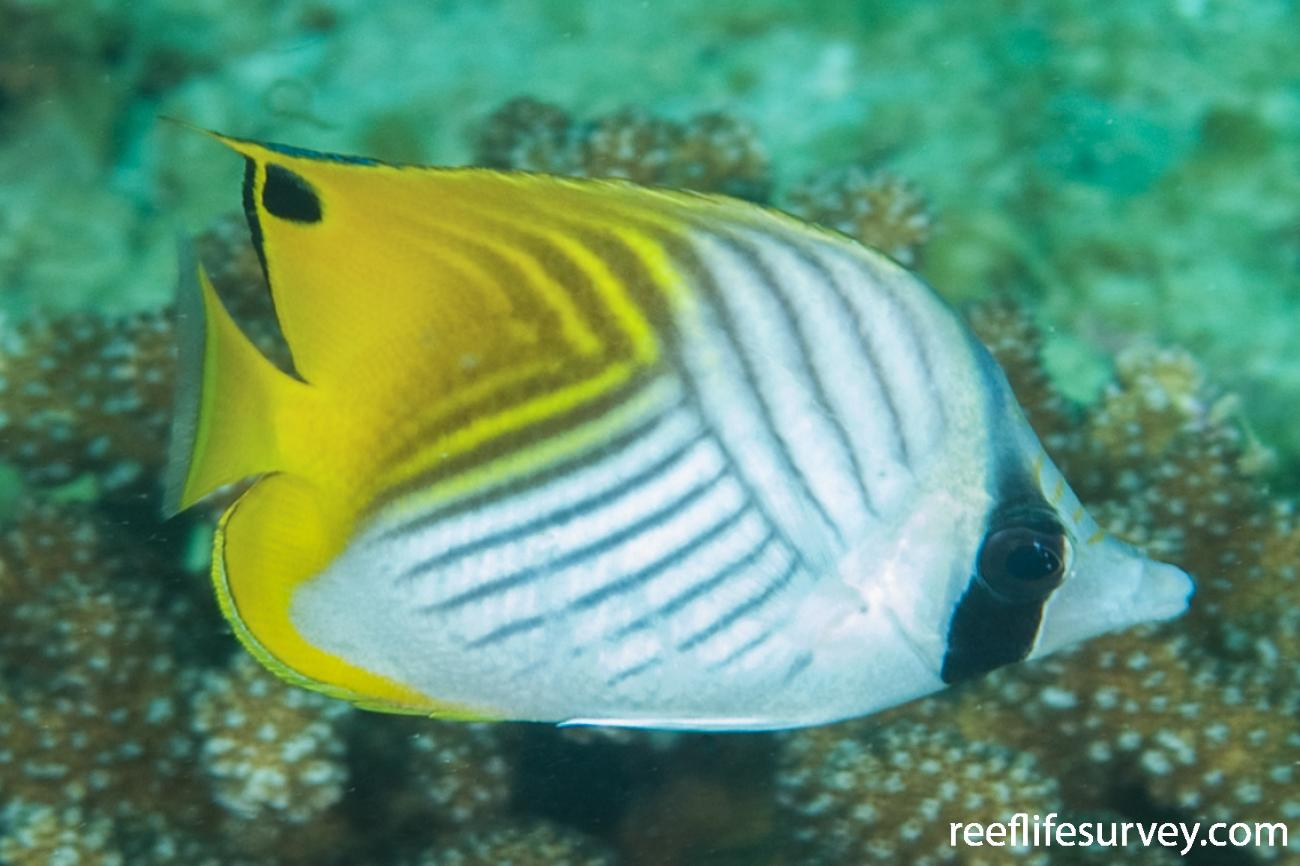 Chaetodon auriga, Adult, Aceh, Indonesia,  Photo: Ian Shaw