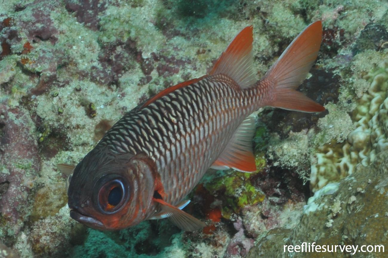 Myripristis violacea, Maldives,  Photo: Rick Stuart-Smith