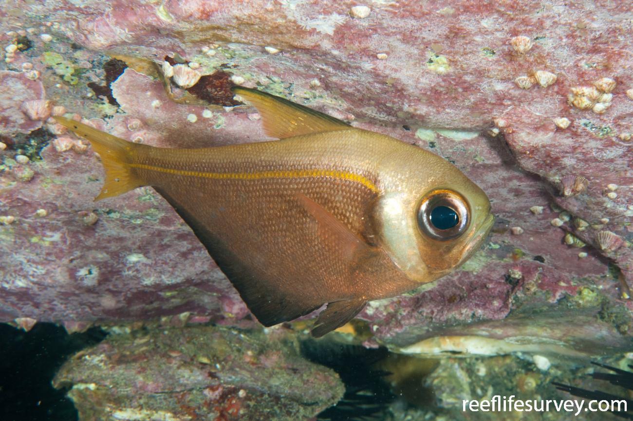Pempheris compressa, Southwest Rocks, NSW,  Photo: Ian Shaw