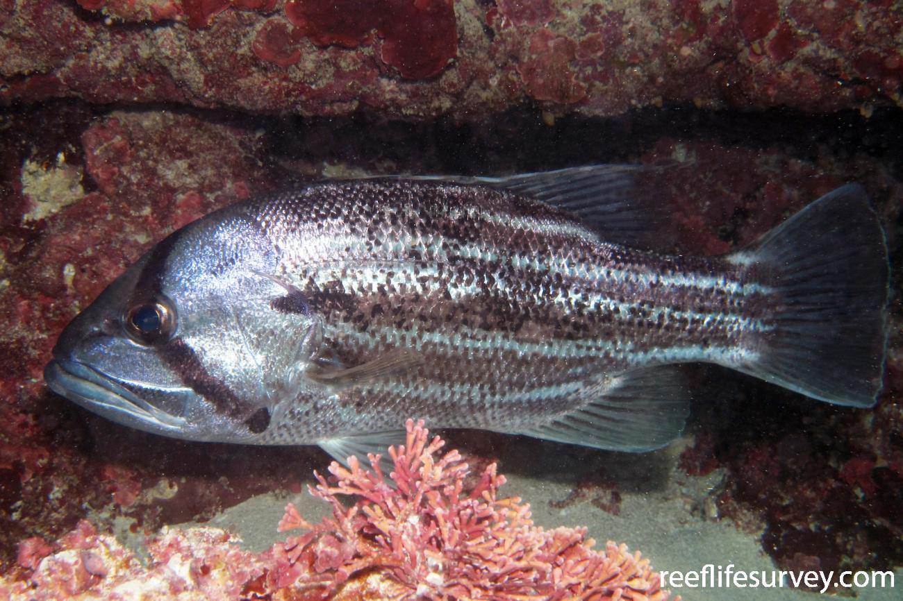 Glaucosoma hebraicum, Adult, Jurien Bay, WA.  Photo: Antonia Cooper