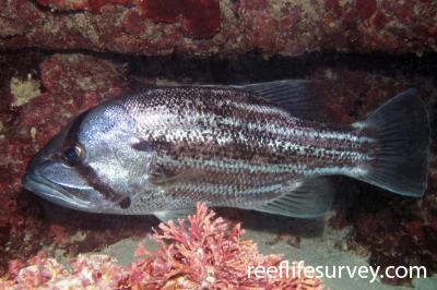 Glaucosoma hebraicum: Adult, Jurien Bay, WA,  Photo: Antonia Cooper