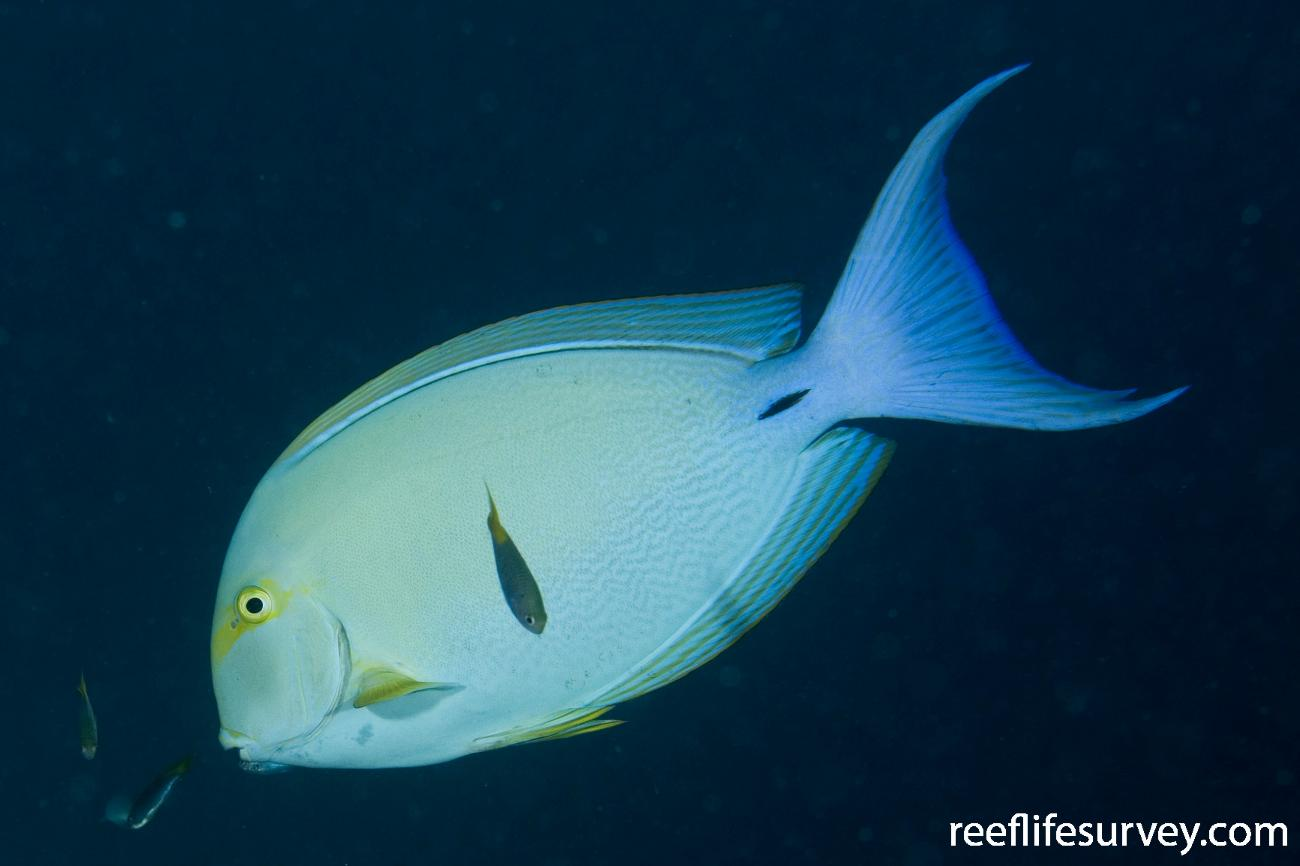Acanthurus xanthopterus, Great Barrier Reef, Cairns, Qld,  Photo: Andrew Green