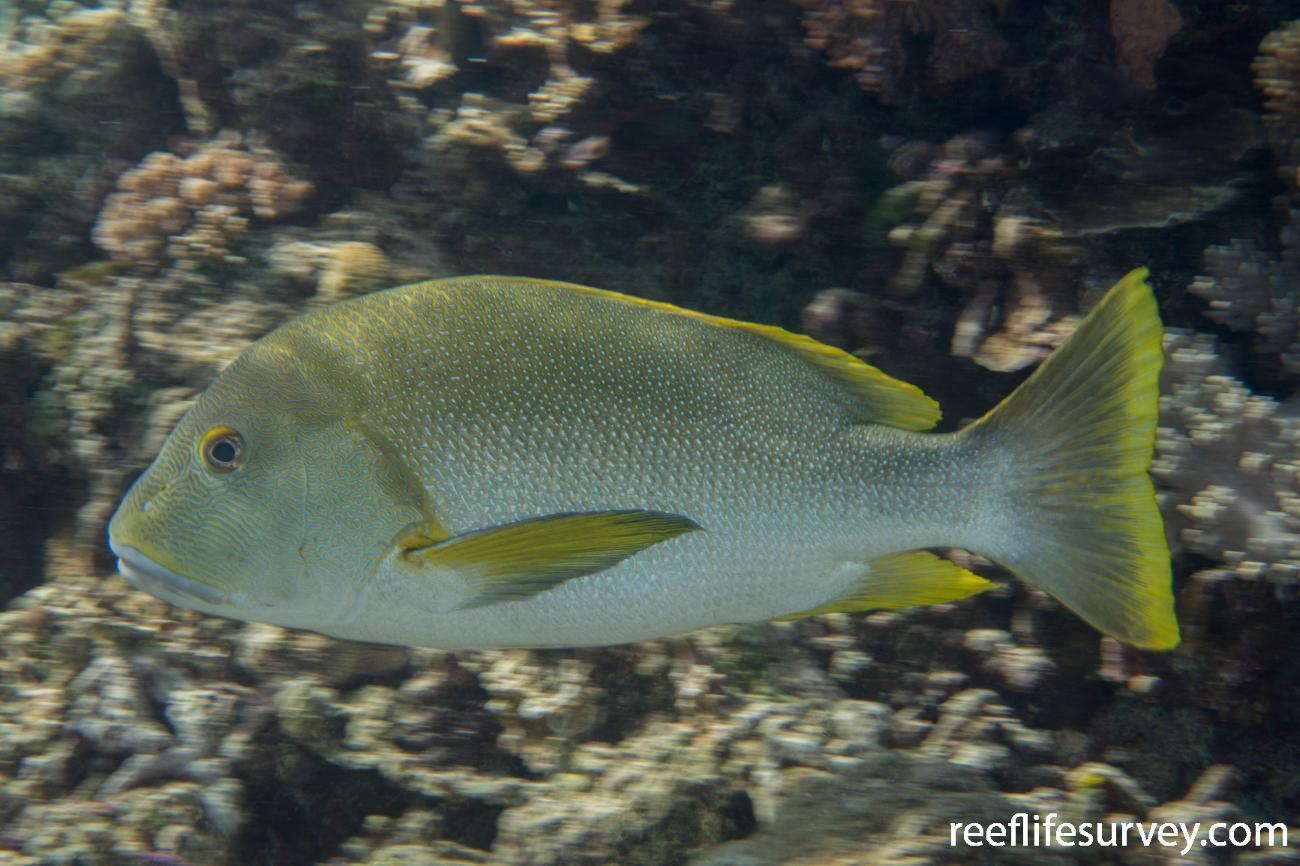 Lutjanus rivulatus, Raja Ampat, Indonesia,  Photo: Rick Stuart-Smith