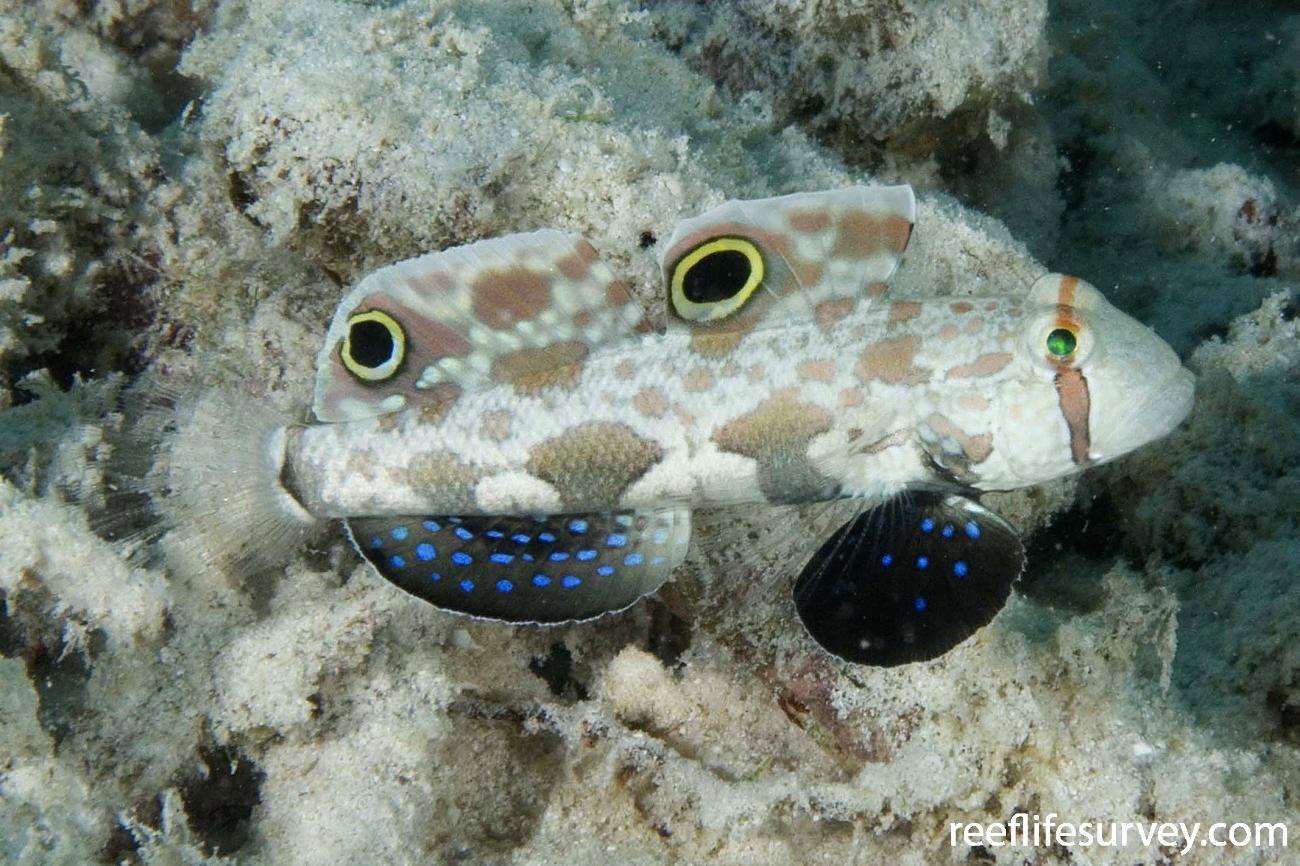 Signigobius biocellatus, North WA, Australia,  Photo: Andrew Green