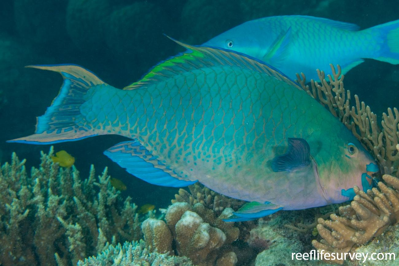 Scarus altipinnis, Male, Great Barrier Reef, Cairns, QLD,  Photo: Andrew Green