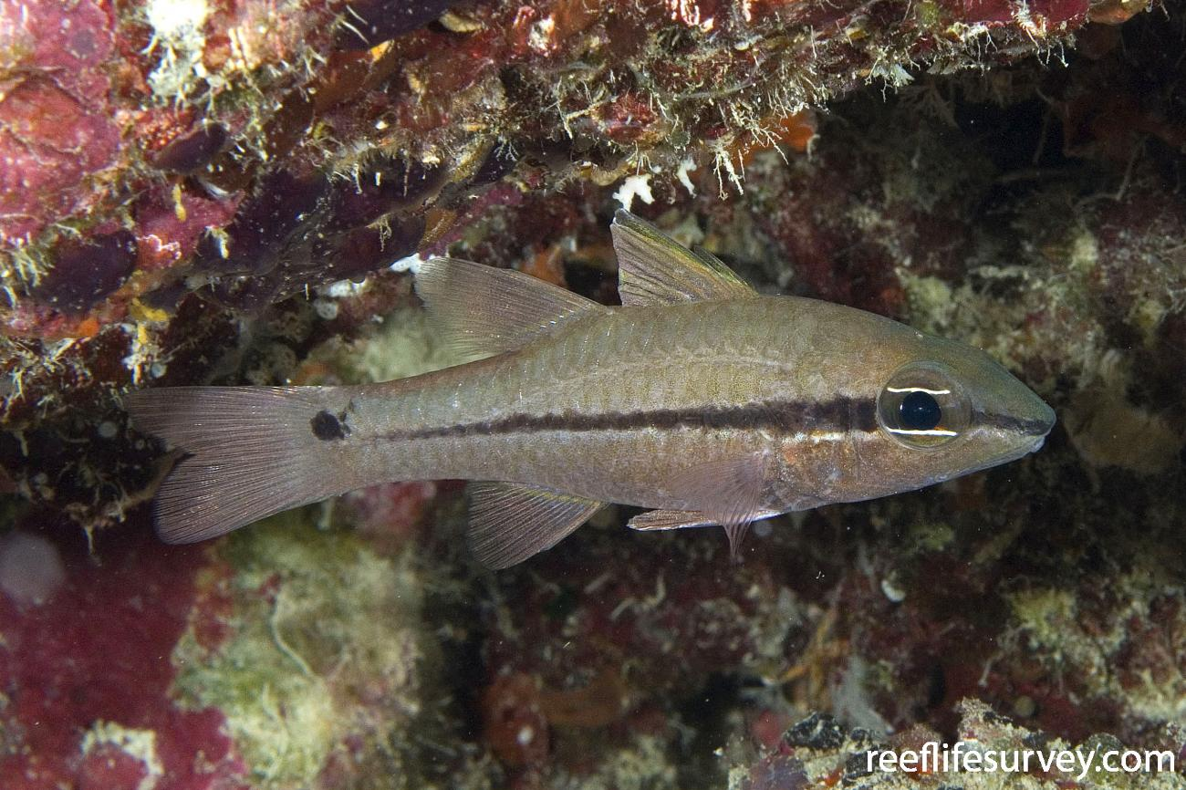Pristiapogon kallopterus, Adult, Naigani Is, Fiji,  Photo: Andrew Green