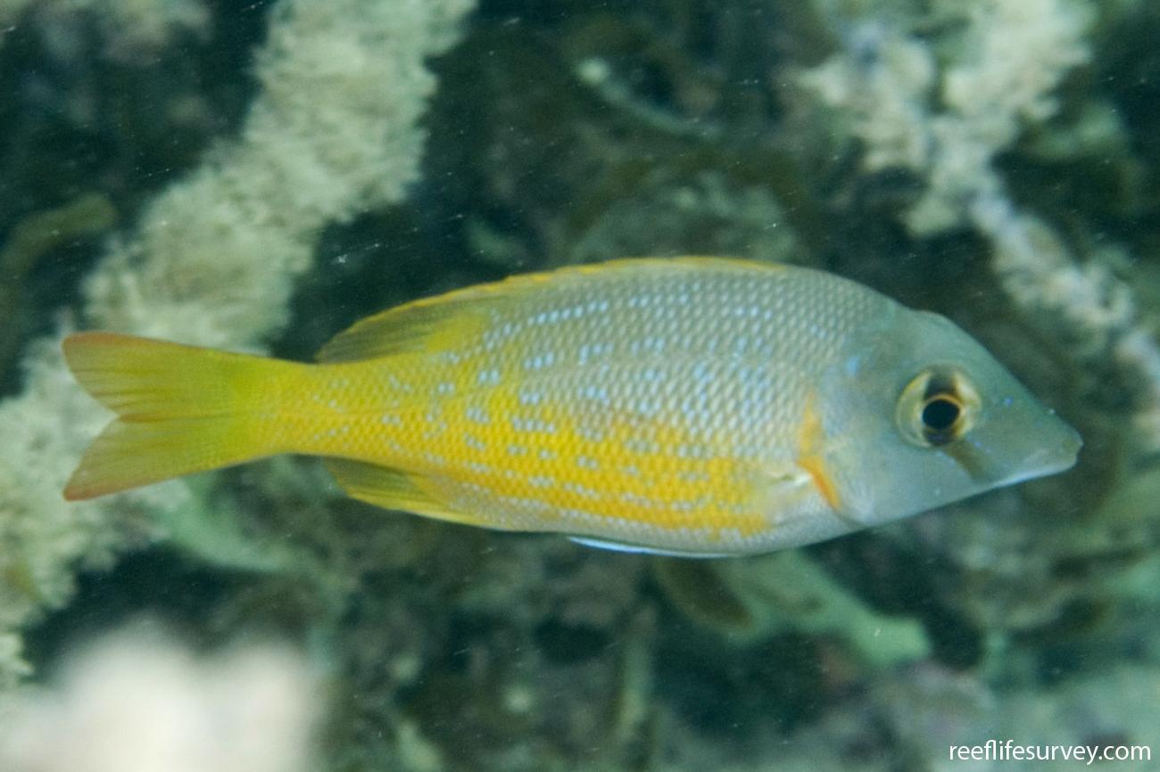 Lethrinus nebulosus, Juvenile, Dampier Archipelago, WA,  Photo: Andrew Green