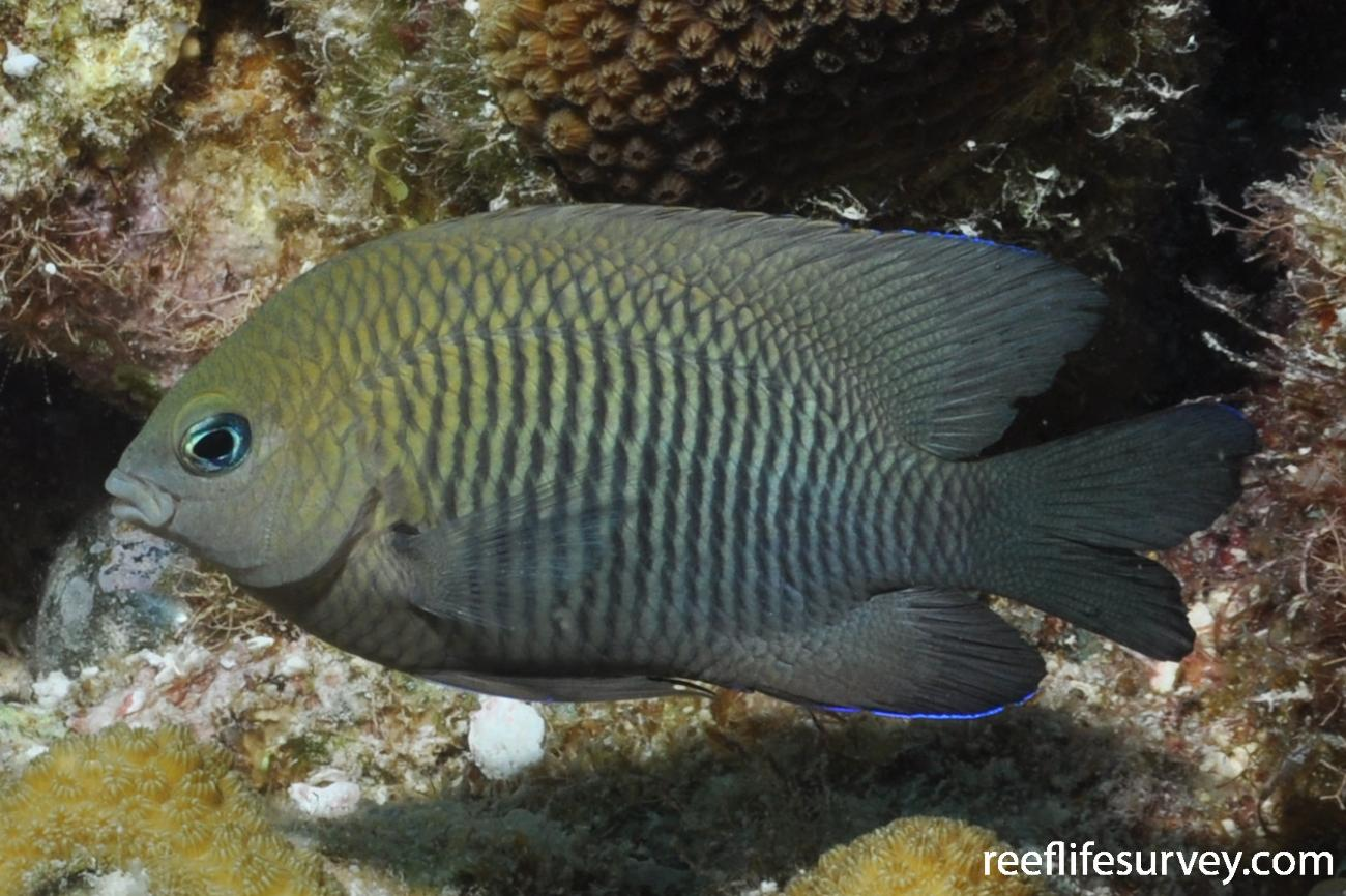 Stegastes diencaeus, Bonaire,  Photo: Rick Stuart-Smith