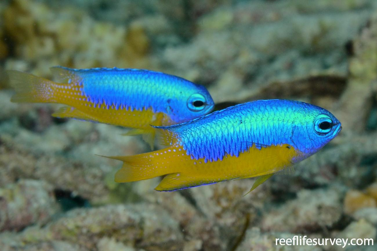 Pomacentrus auriventris, Raja Ampat, Indonesia,  Photo: Rick Stuart-Smith