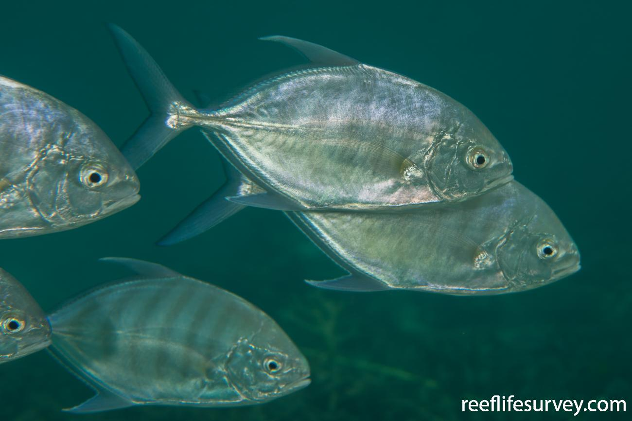 Carangoides ferdau, WA, Australia,  Photo: Rick Stuart-Smith