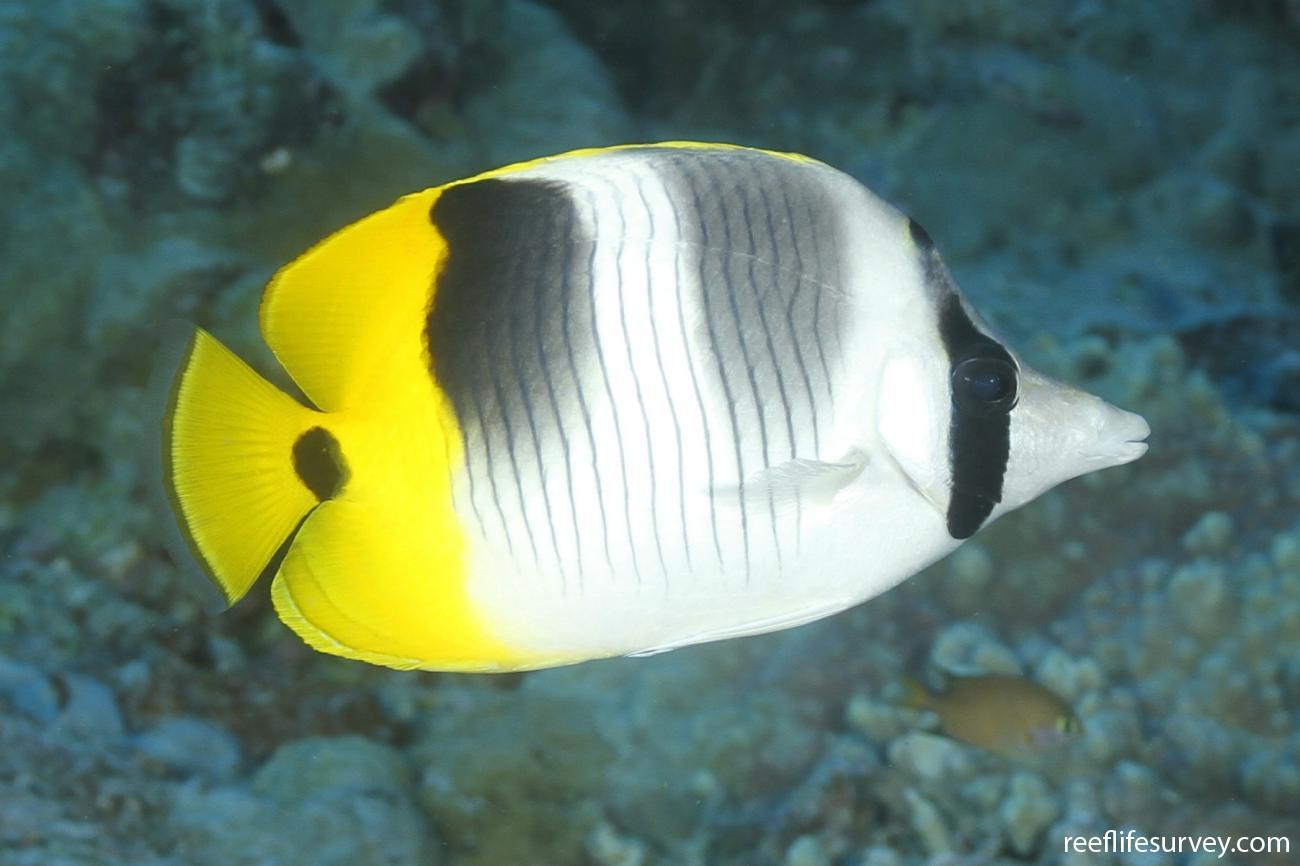 Chaetodon ulietensis, Adult, Coral Sea, Australia,  Photo: Ian Shaw