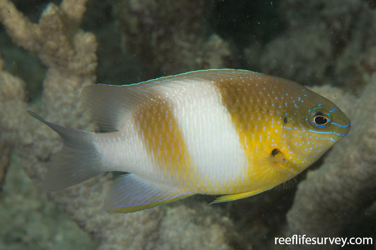 Dischistodus prosopotaenia, Great Barrier Reef, QLD,  Photo: Rick Stuart-Smith