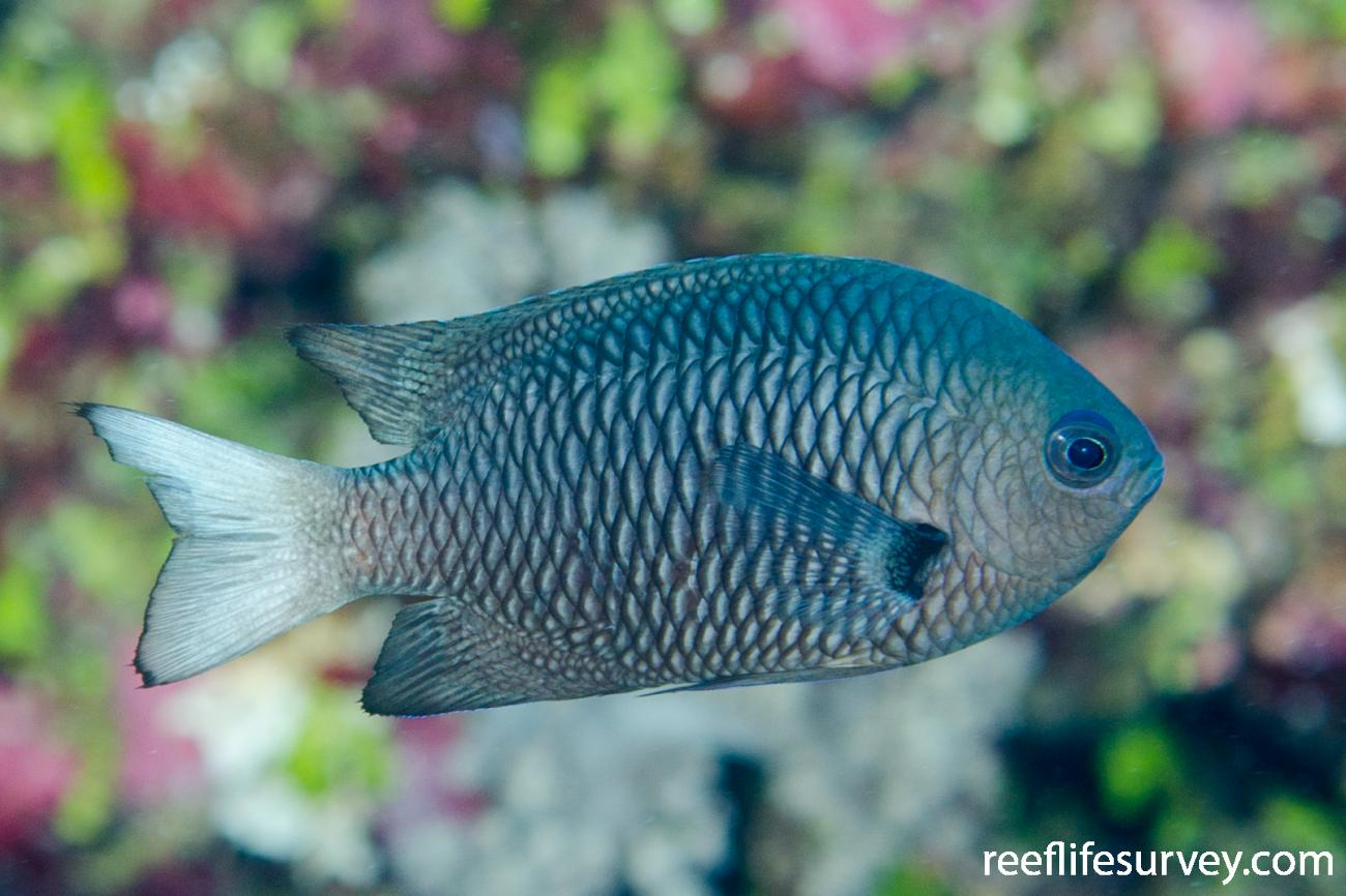 Pomacentrus imitator, Adult, Coral Sea, Australia,  Photo: Ian Shaw