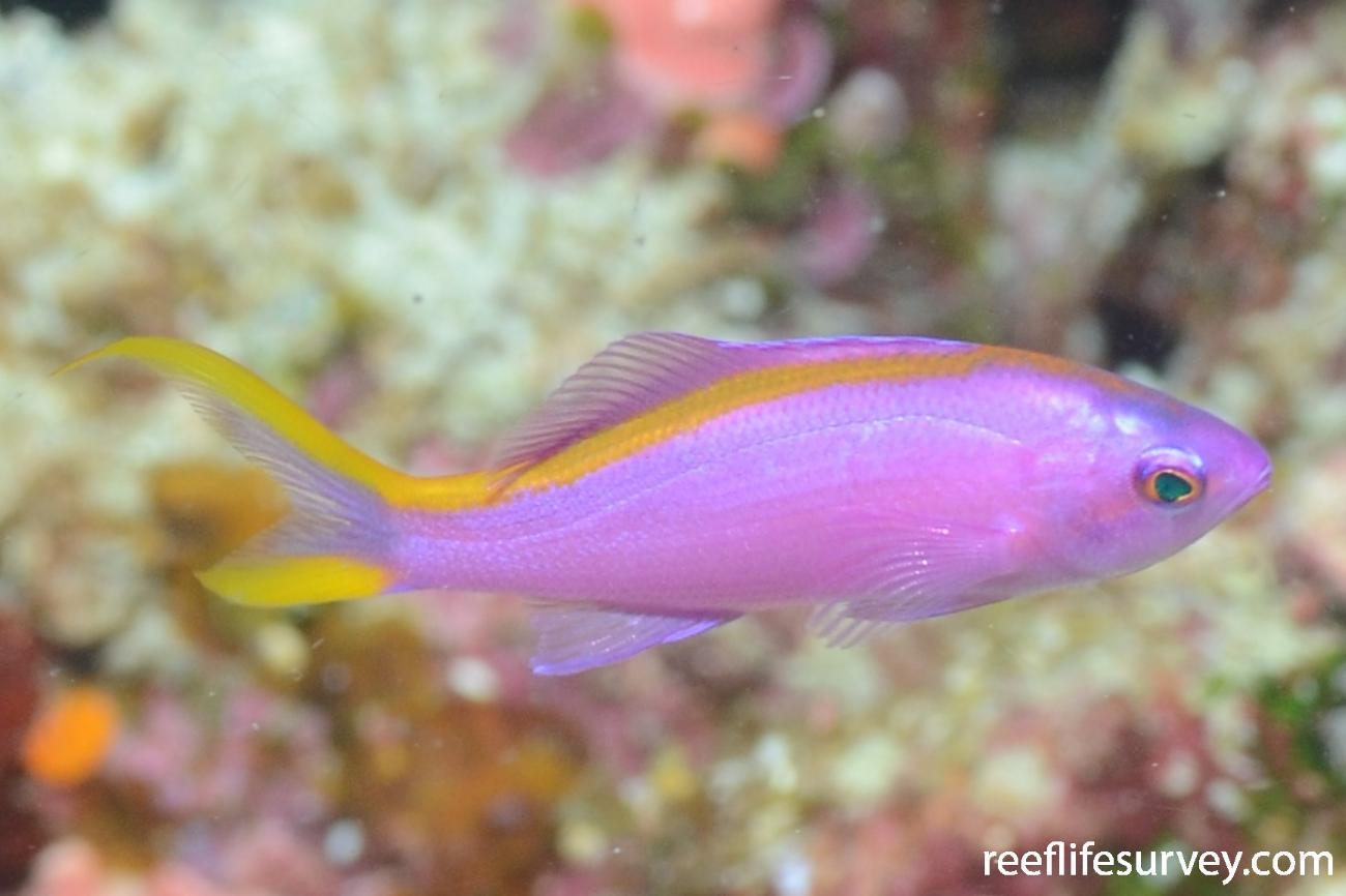 Pseudanthias tuka, Female, Ashmore Reef, Coral Sea,  Photo: Graham Edgar