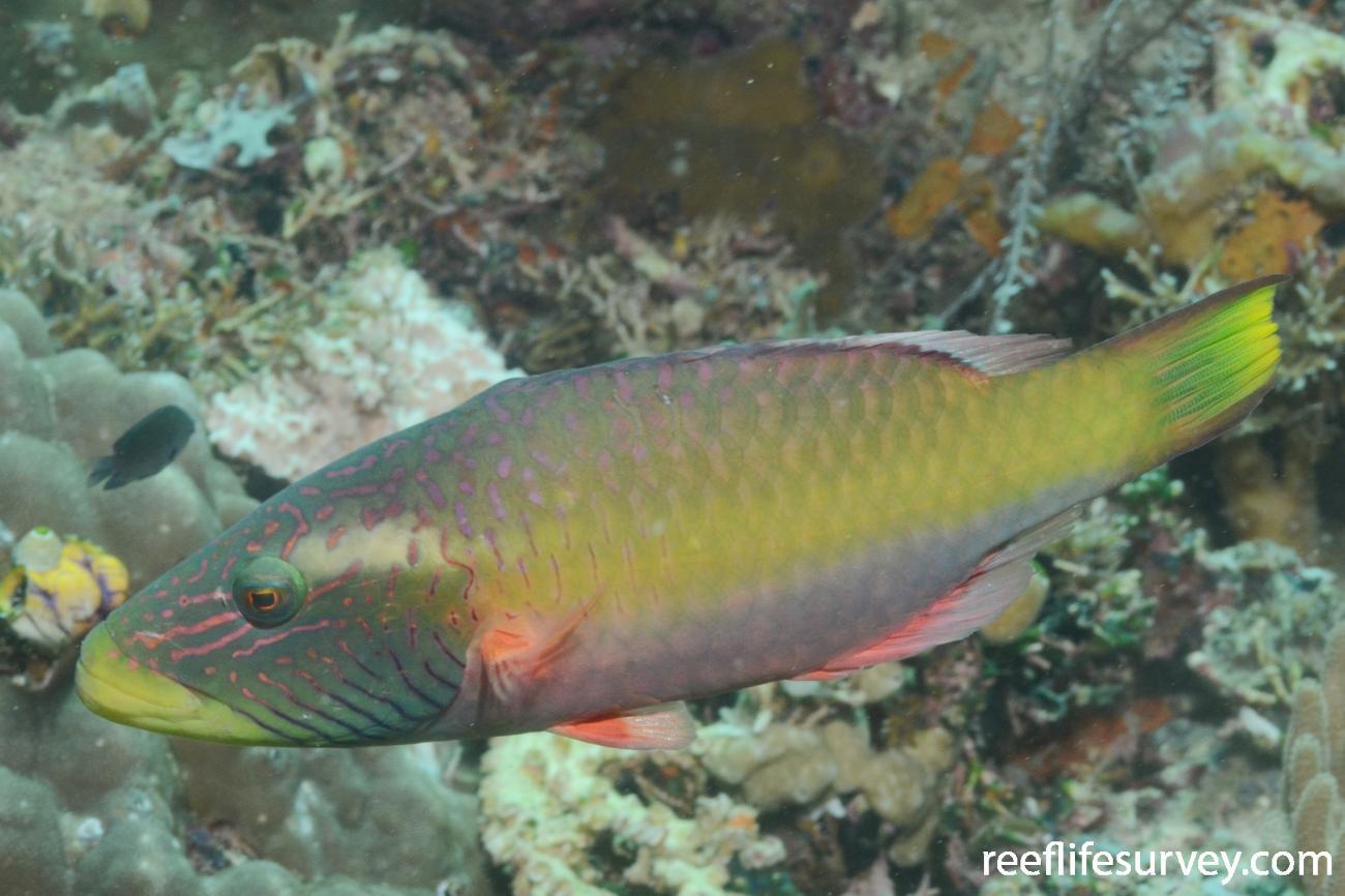 Oxycheilinus digrammus, Adult, Raja Ampat, Indonesia,  Photo: Graham Edgar