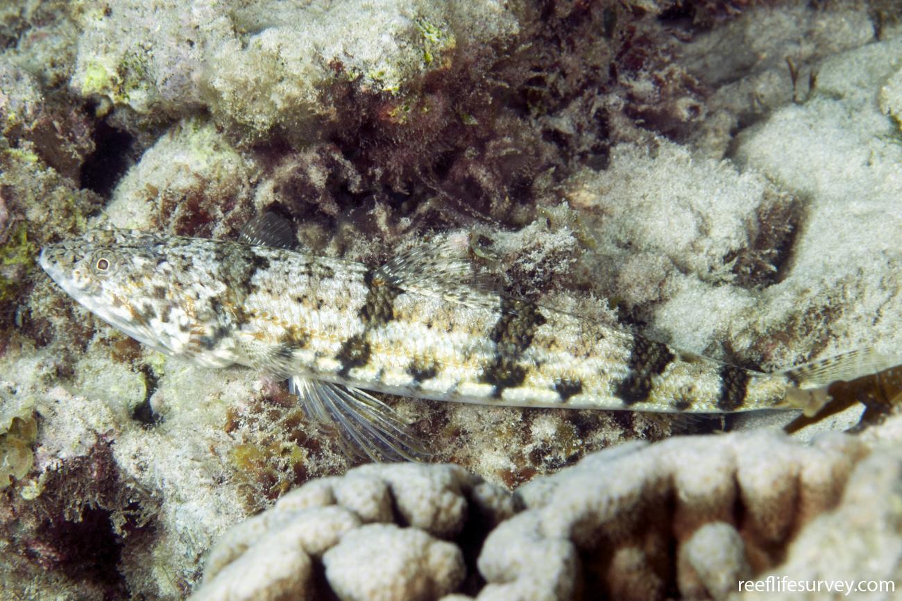 Synodus binotatus, Lord Howe Is, Australia,  Photo: Ian Shaw