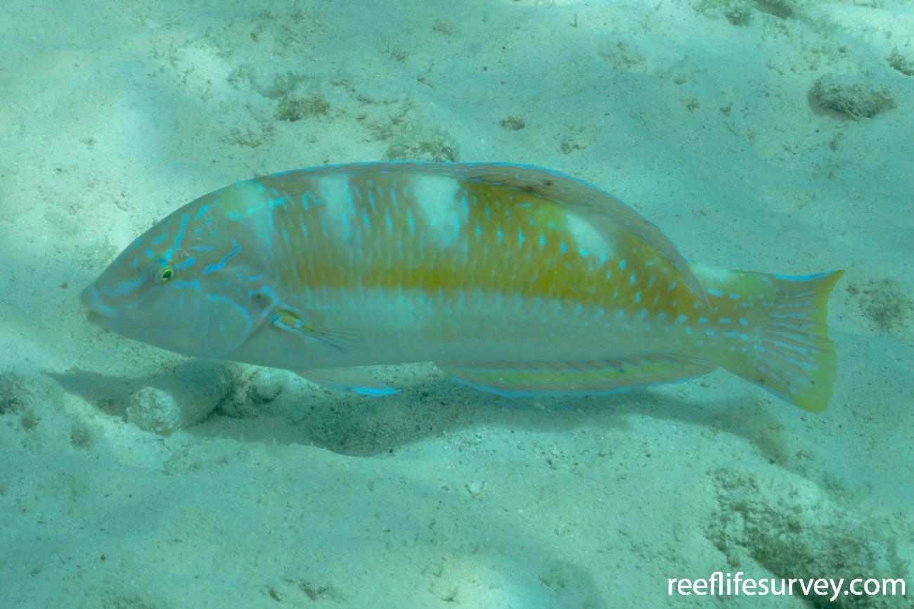 Halichoeres radiatus, Bonaire,  Photo: Rick Stuart-Smith