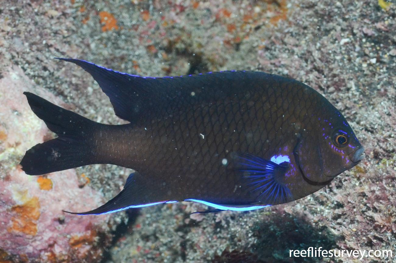 Abudefduf luridus, Adult, Tenerife,  Photo: Rick Stuart-Smith