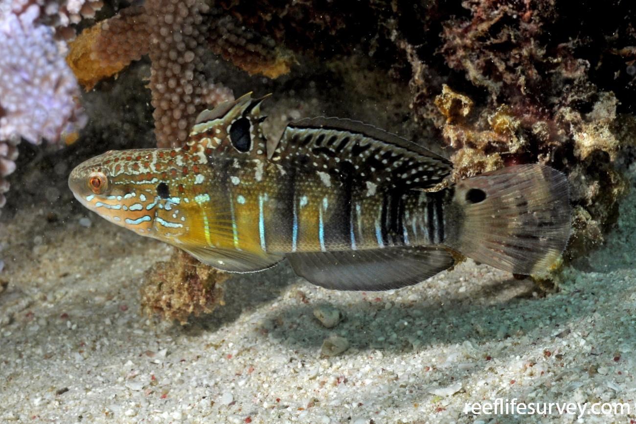 Amblygobius phalaena,  Photo: Rick Stuart-Smith