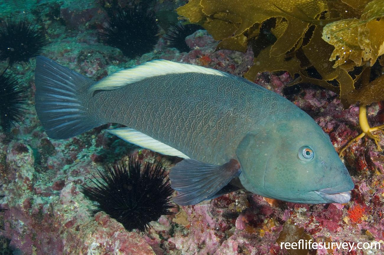 Notolabrus inscriptus, Male, Poor Knights Islands, New Zealand,  Photo: Andrew Green