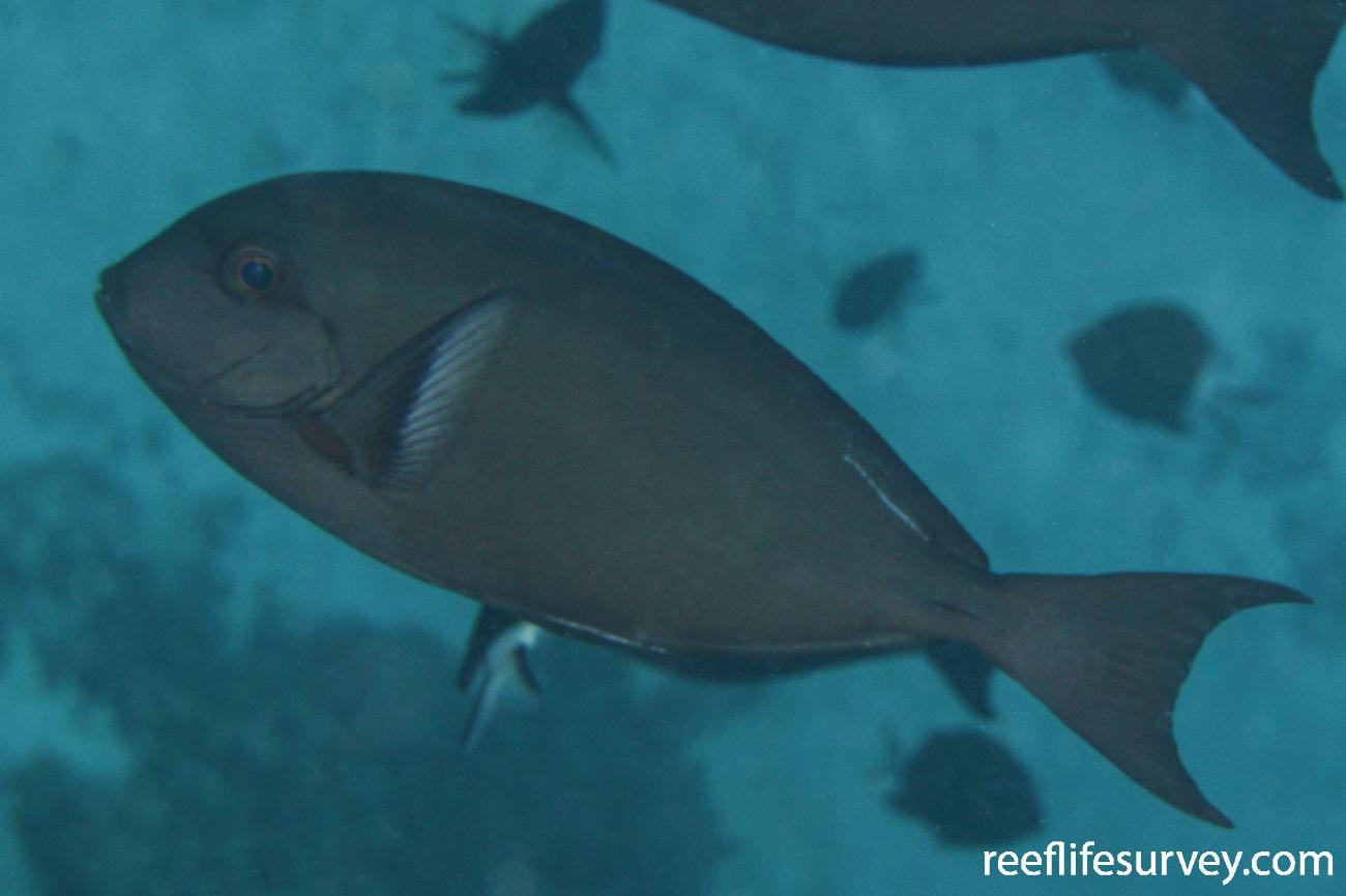 Acanthurus albipectoralis, Saumarez Reef, Coral Sea,  Photo: Graham Edgar