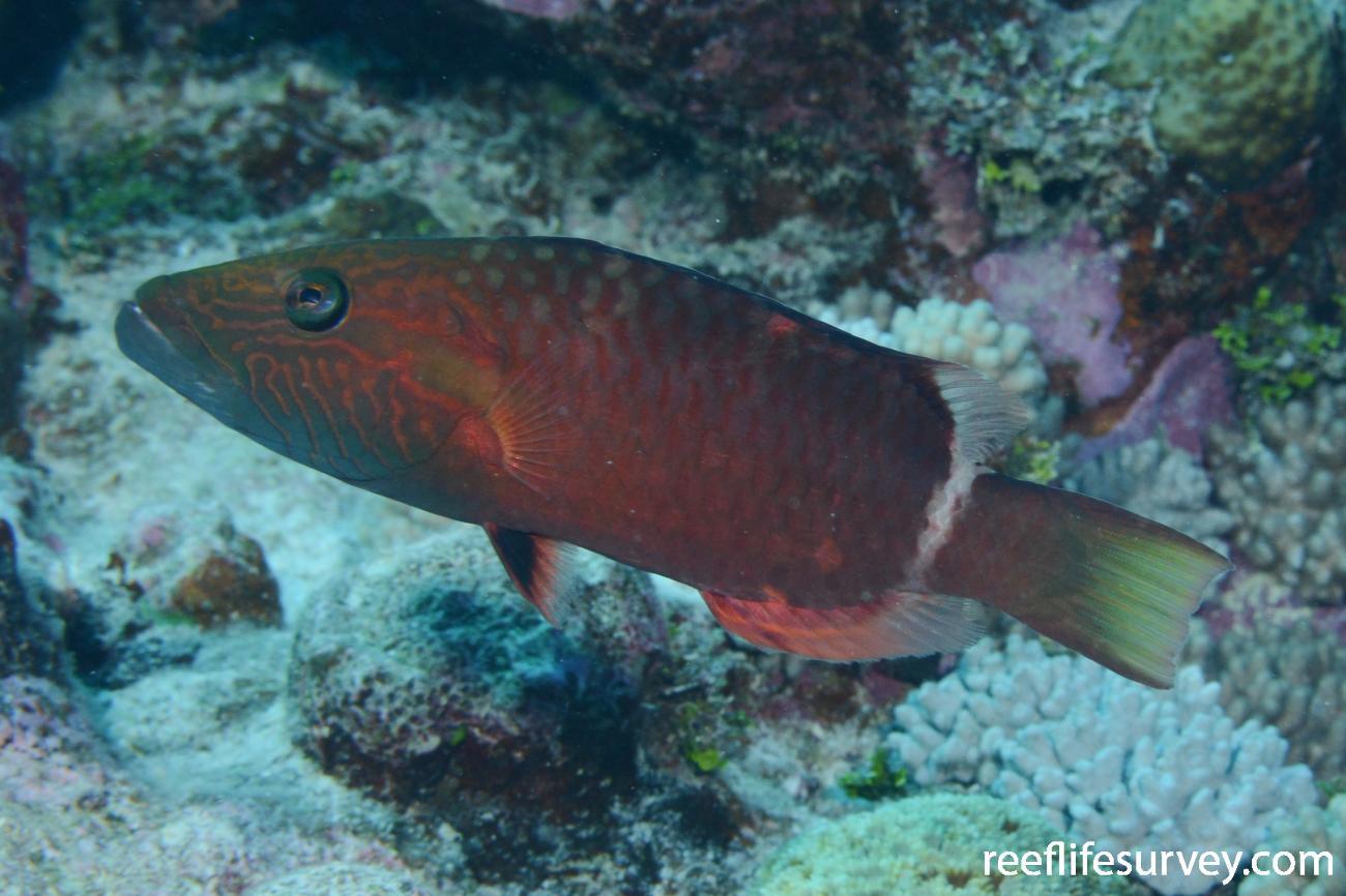 Oxycheilinus unifasciatus, Mellish Reef, Coral Sea,  Photo: Graham Edgar