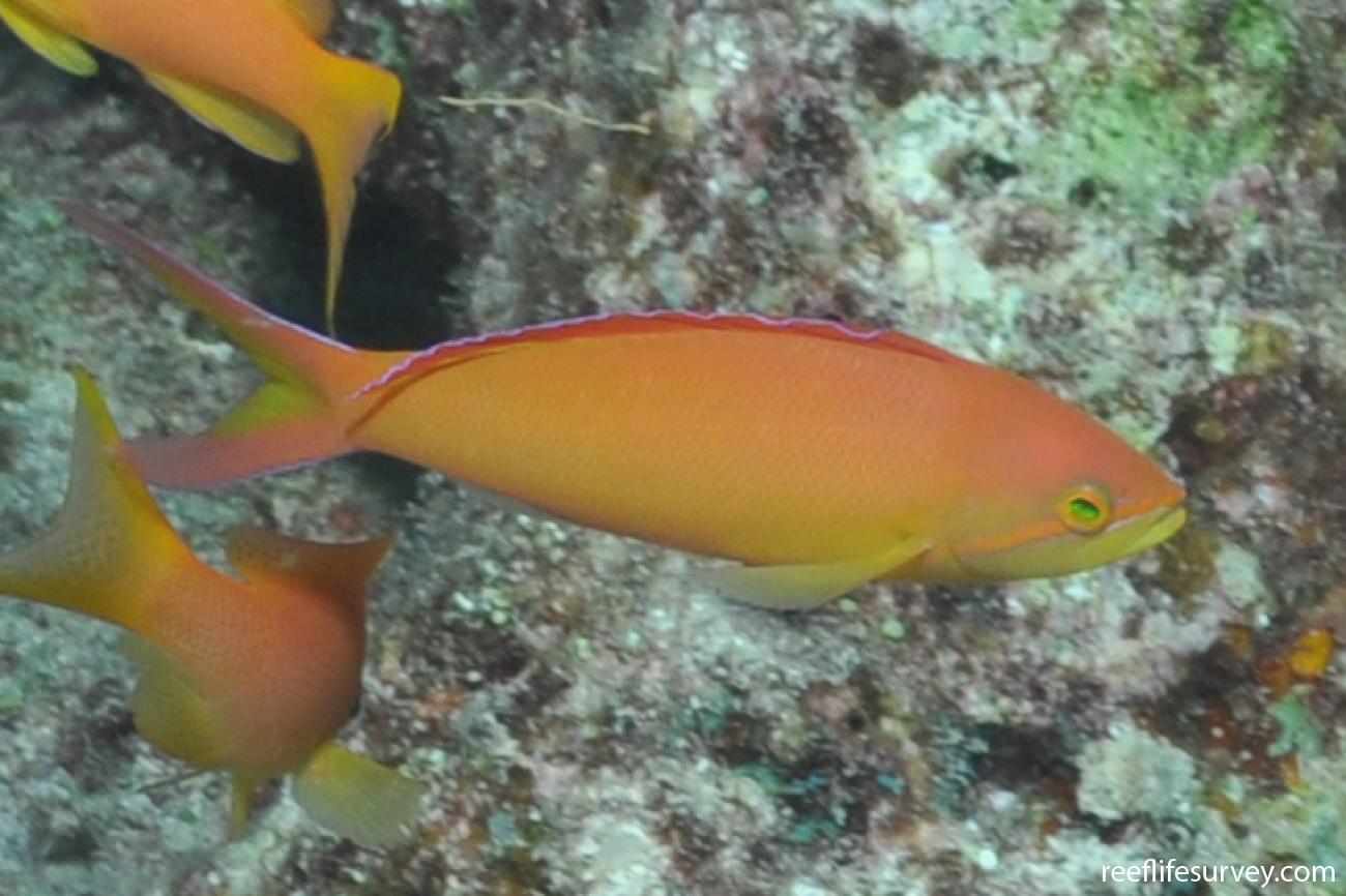 Pseudanthias ignitus, Maldives,  Photo: Rick Stuart-Smith