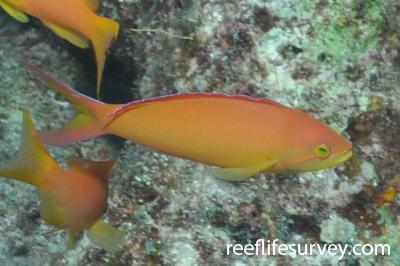Pseudanthias ignitus: Maldives,  Photo: Rick Stuart-Smith