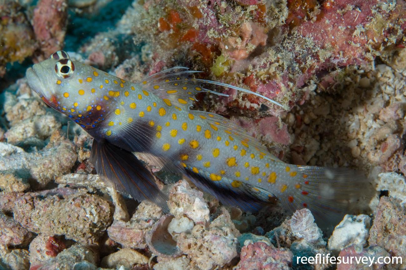 Amblyeleotris guttata, Naigani Is, Fiji,  Photo: Andrew Green