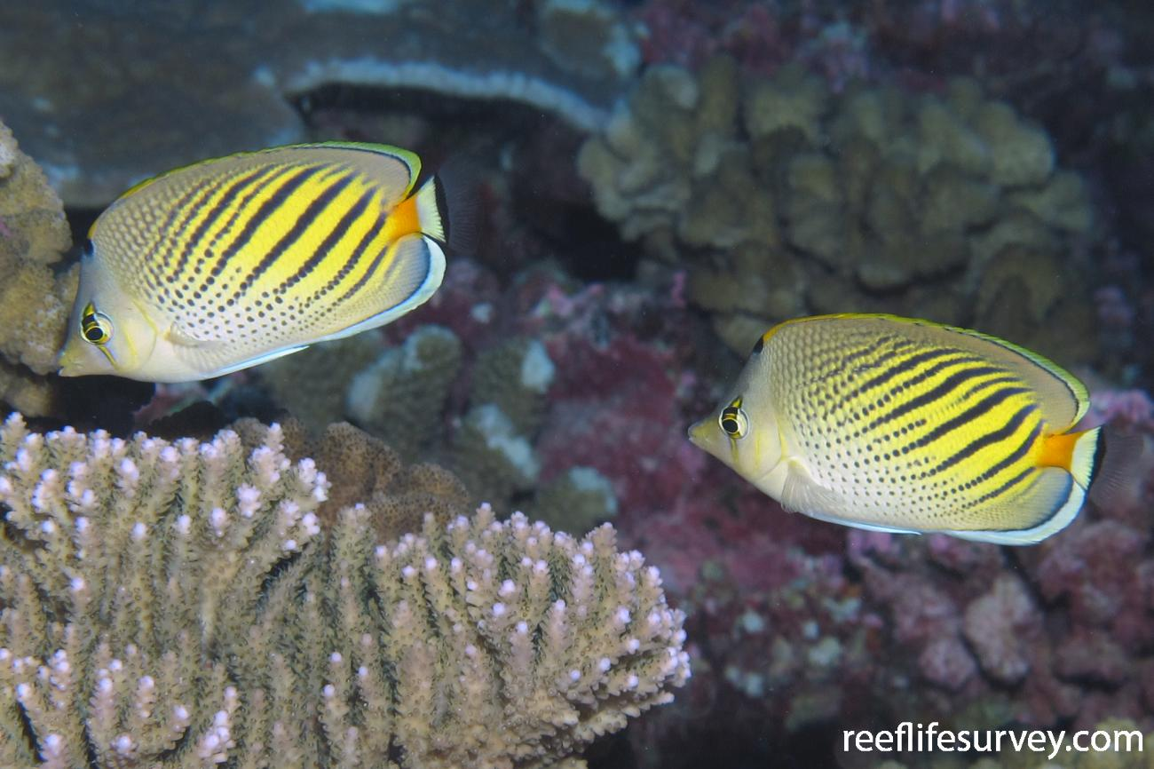 Chaetodon pelewensis, Tuamotu Archipelago,  Photo: Antonia Cooper
