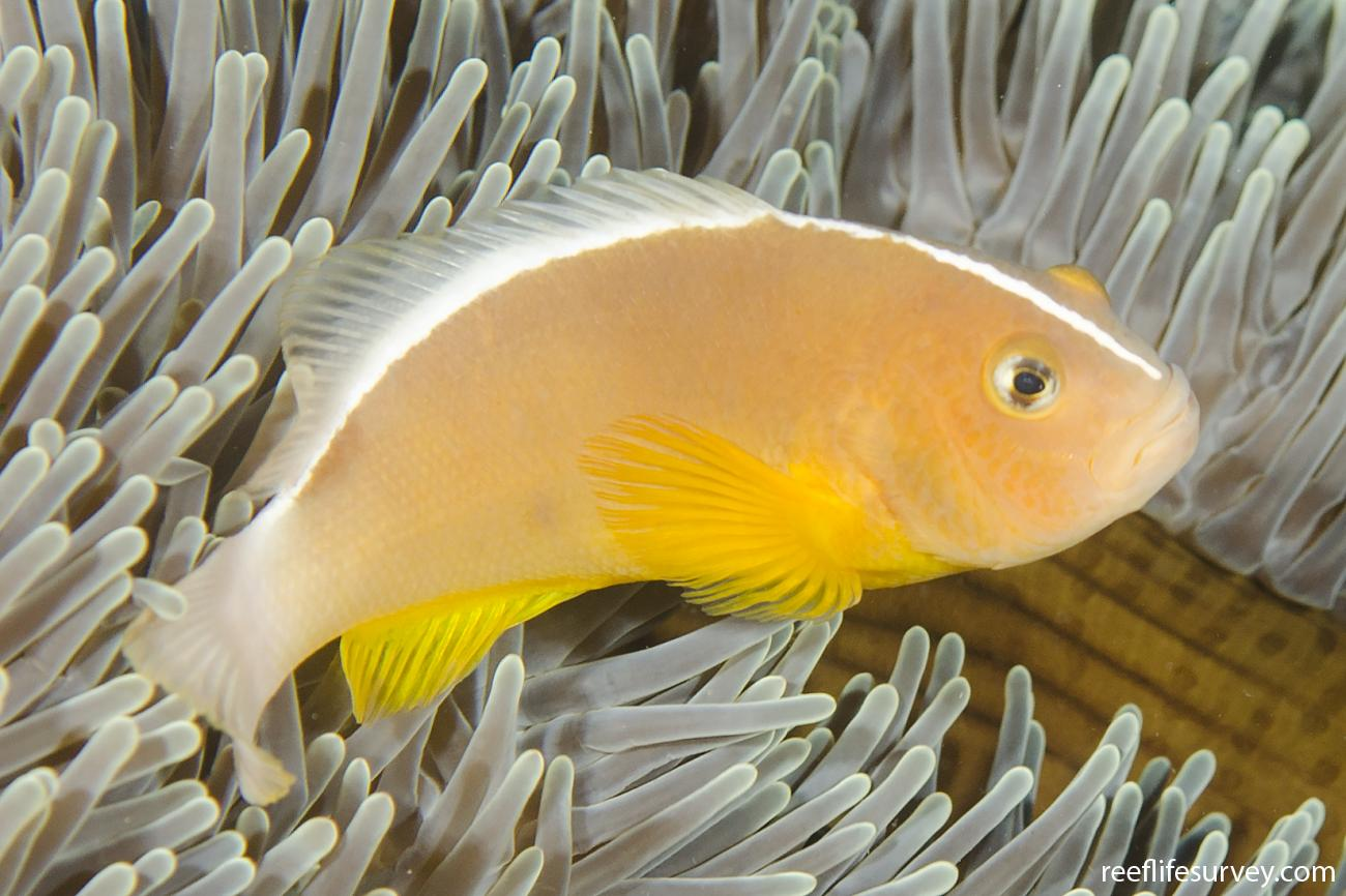 Amphiprion akallopisos, Adult, Bali, Indonesia,  Photo: Ian Shaw