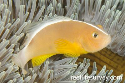 Amphiprion akallopisos: Adult, Bali, Indonesia,  Photo: Ian Shaw