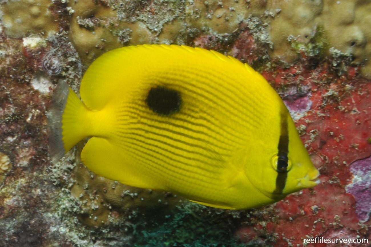 Chaetodon zanzibarensis, Seychelles,  Photo: Rick Stuart-Smith
