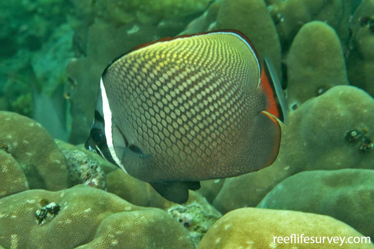 Chaetodon collare, Adult, Aceh, Indonesia,  Photo: Ian Shaw