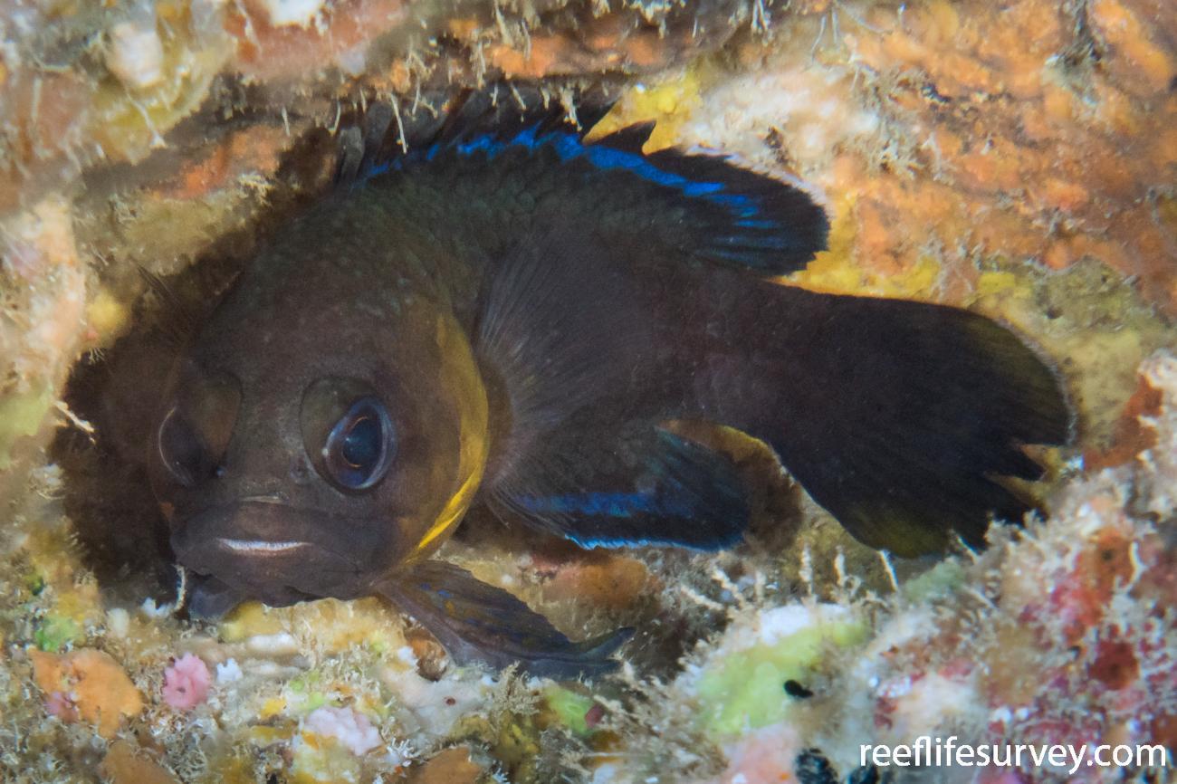 Plesiops insularis, Lord Howe Is, NSW,  Photo: Rick Stuart-Smith