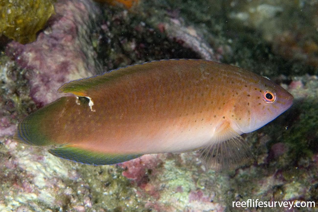 Austrolabrus maculatus, Jervis Bay, NSW,  Photo: Andrew Green
