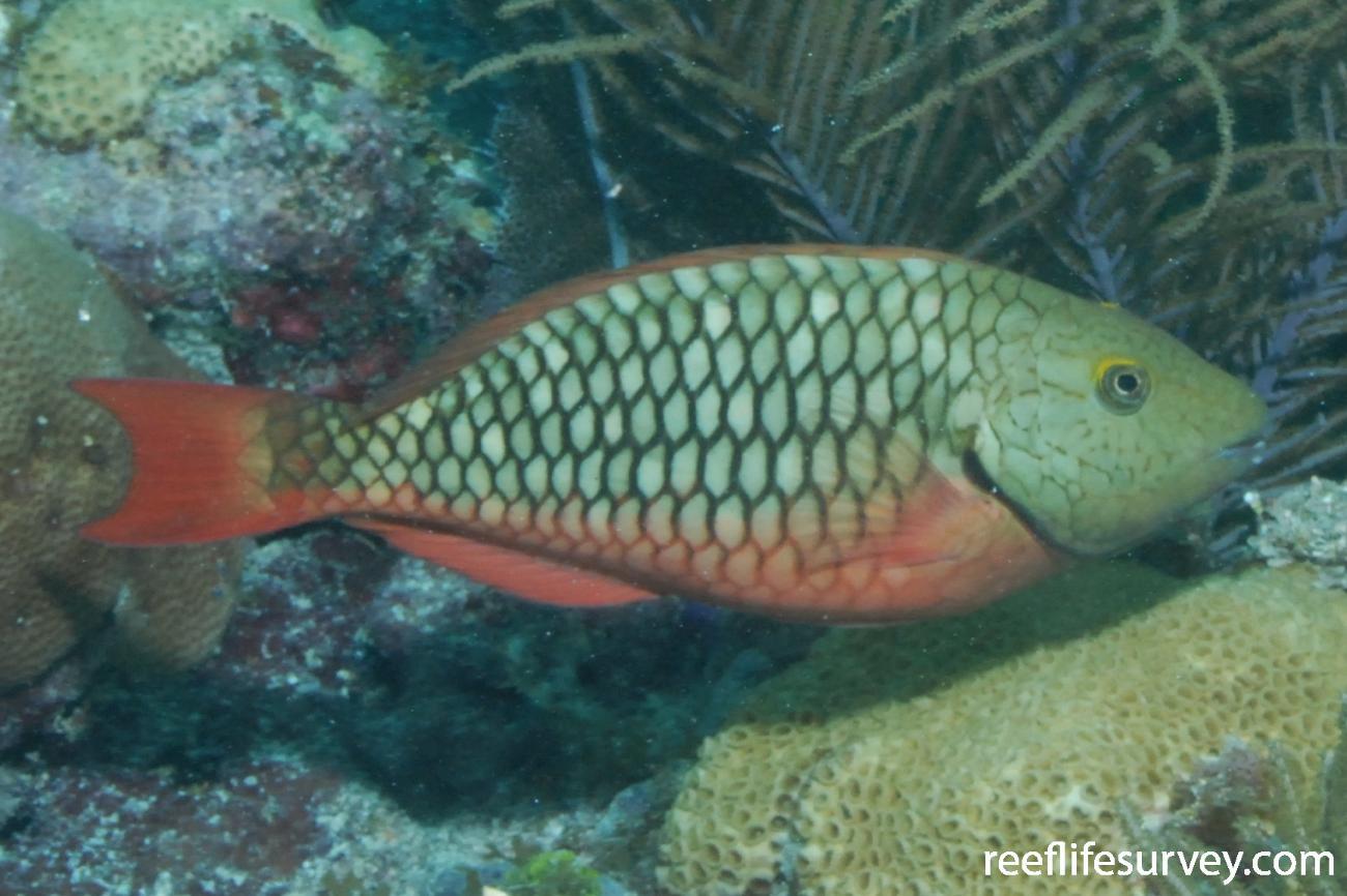 Sparisoma viride, Female, Florida Keys, USA,  Photo: Graham Edgar