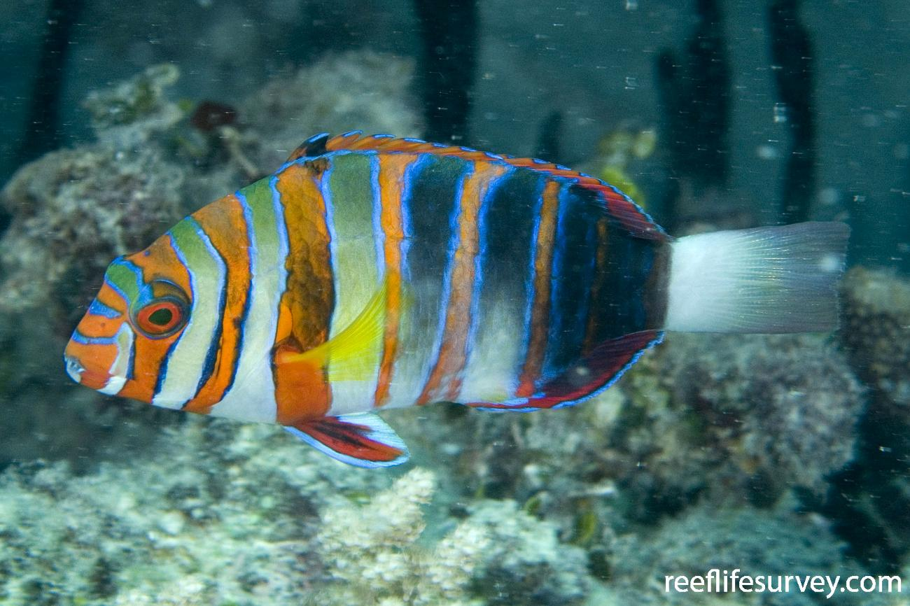 Choerodon fasciatus, Northern Great Barrier Reef, Qld,  Photo: Andrew Green