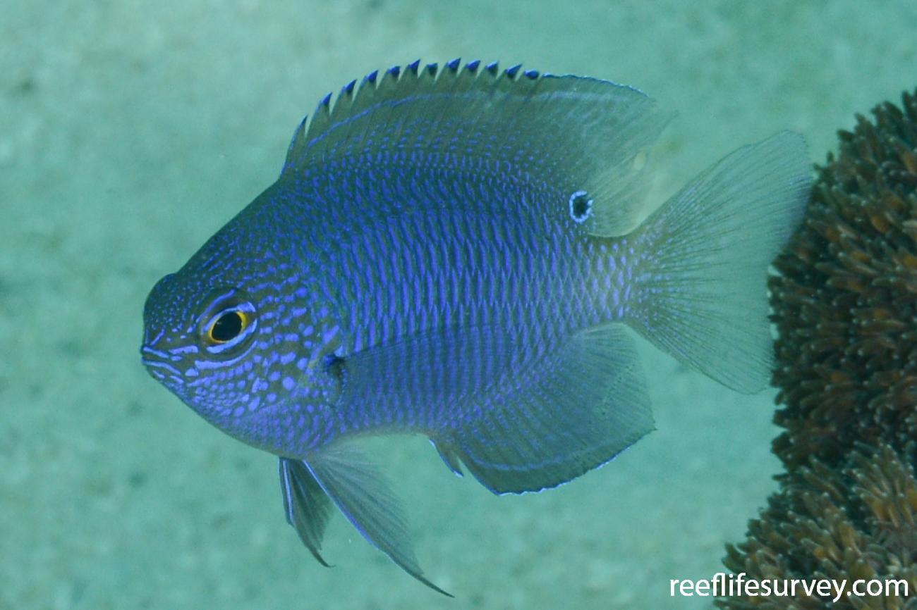 Pomacentrus limosus, Ningaloo Reef, WA,  Photo: Rick Stuart-Smith